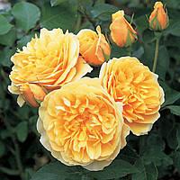 Роза английская Грехем Томас (Graham Thomas)