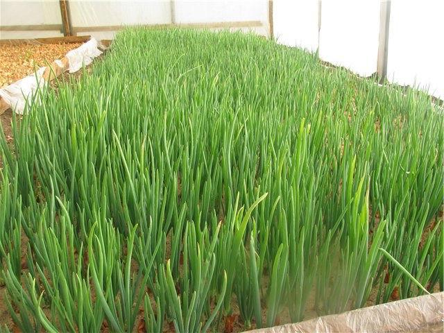 Зеленый лук под плёнкой