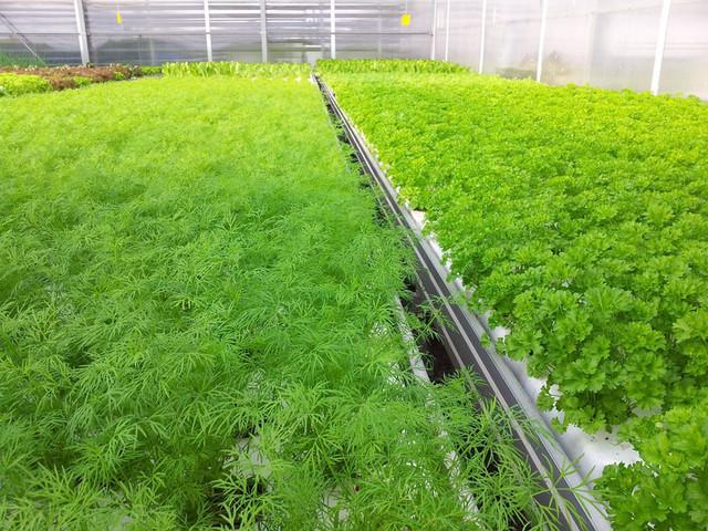 Укроп в теплице выращивание