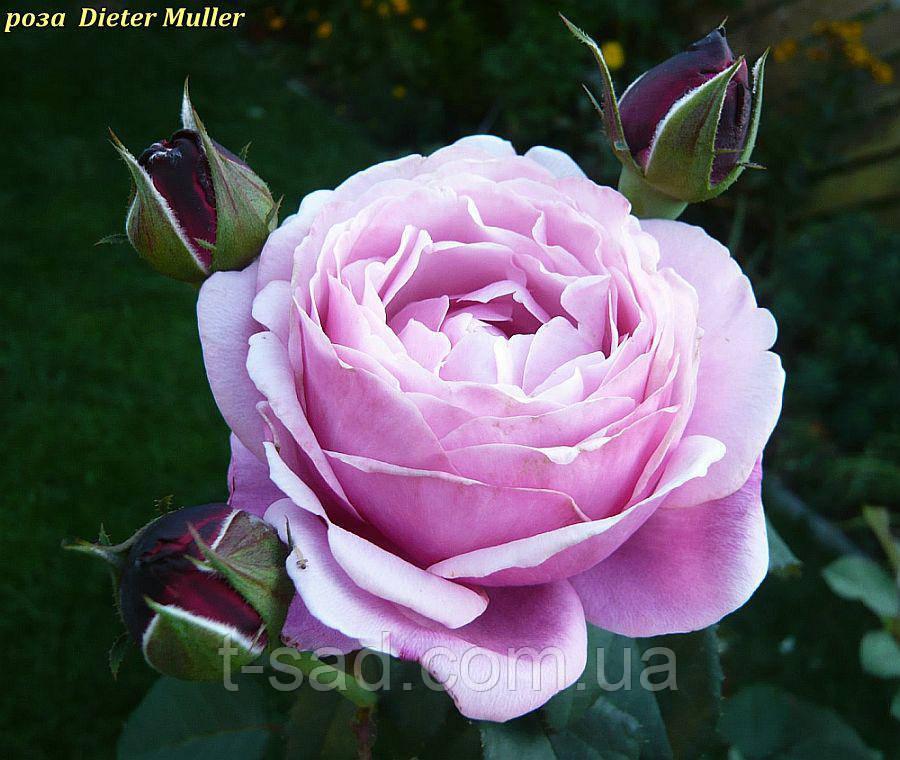 Роза Dieter Muller ( Дитер Мюллер)
