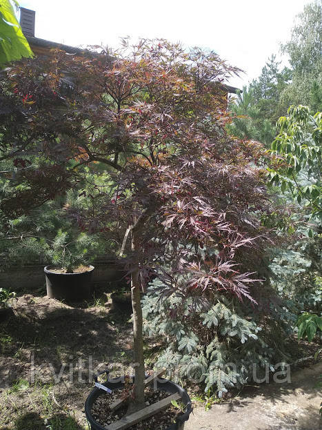 клён Acer Palmatum Dissectum Tamukeyama продажа цена в киеве