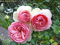Роза Pierre de Ronsard ®( Пьер де Ронсар)