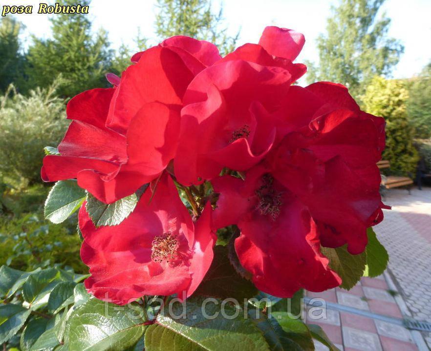Роза Robusta (Робуста) парковая
