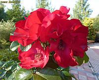 Роза Robusta (Робуста) парковая, фото 1