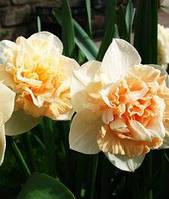 """Нарцисс Махровый """"Flower Surprise"""" персивоко-розовый"""