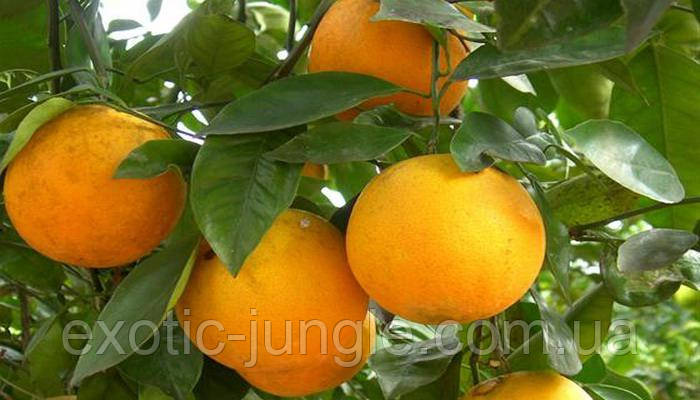 Апельсин Лайн Лате (Citrus sinensis Lane Late) 35-40 см. Комнатный