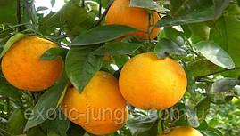 Апельсин Лайн Лате (Citrus sinensis Lane Late) до 20 см. Комнатный