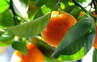Апельсин Валенсия (Citrus sinensis Valencia) Комнатный