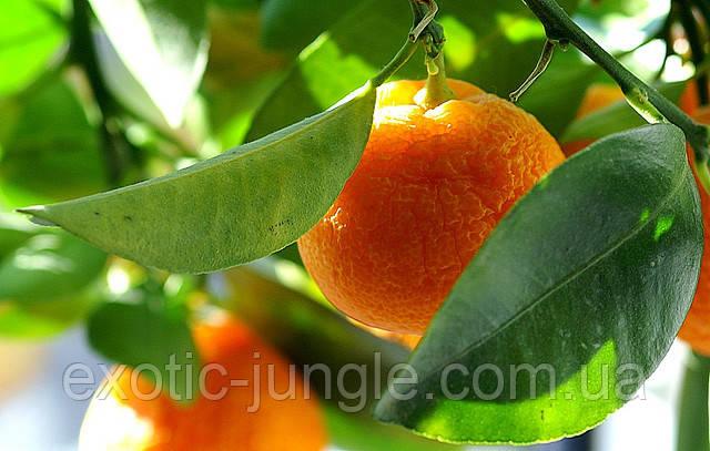 Апельсин Валенсия (Citrus sinensis Valencia) выше 50 см. Комнатный