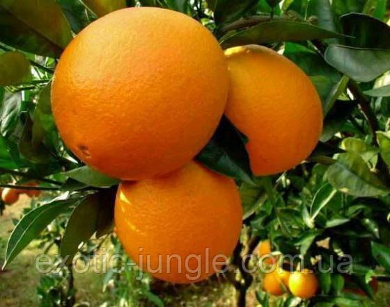 Апельсин Мерлин (Citrus sinensis Merlin) выше 50 см. Комнатный