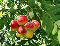 Саджанці горобини ДОМАШНЯ (Sorbus domestica L.)