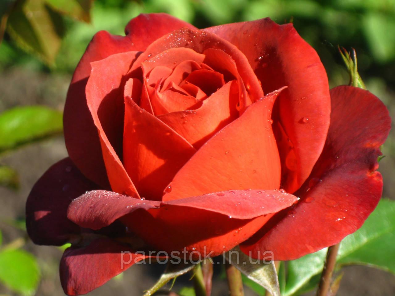 Роза Хот Чоколат. Флорибунда