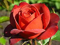 Роза Хот Чоколат. Флорибунда, фото 1