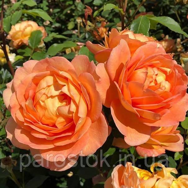 Роза Леди Эмма Гамильтон. Английская роза