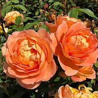 Роза Леди Эмма Гамильтон. Английская роза, фото 1