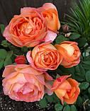 Роза Леди Эмма Гамильтон. (с). Английская роза, фото 3