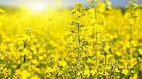 Семена озимого рапса Артус - гибрид от Производителя «Лембке» (Lembke)