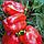 Элитные семена сладкого красного перца раннего Геркулес F1 профпакет 50 г, Clause французской селекции, фото 2