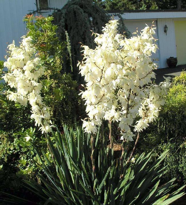 Юкка нитчатая, Yucca filamentosa, 60 см
