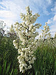 Юкка нитчатая, Yucca filamentosa, 60 см, фото 2