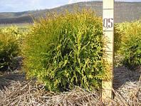 Туя западная Глобоза, Thuja occidentalis 'Globosa', 50 см