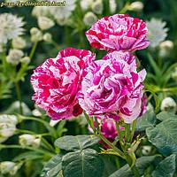 Роза Ferdinand Pichard (Фердинанд Пичард)
