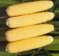 Семена кукурузы сладкой Карамелло F1 (500 г)