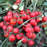Семена томата Конори F1 (500 сем.) Kitano