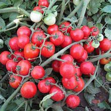 Насіння томату Конори F1 (500 сем.) Kitano
