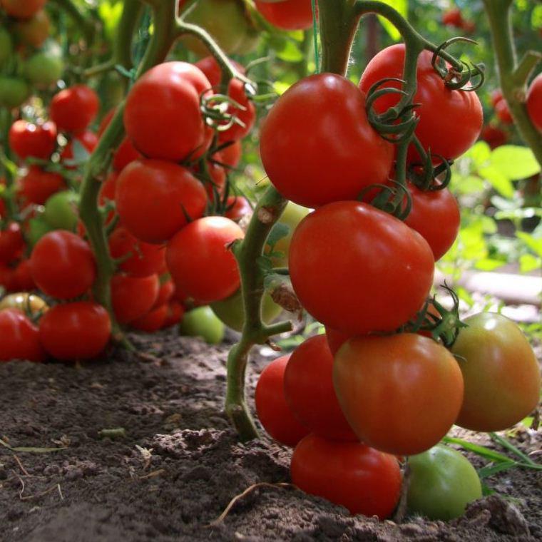Семена томата Тайлер F1 (100 сем.) Kitano