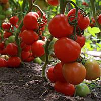 Семена томата Тайлер F1 (100 сем.)