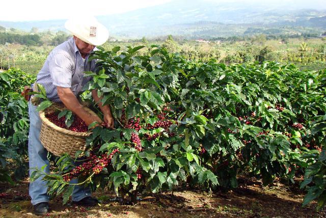 арабика сбор урожая