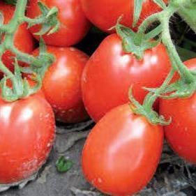 Семена томата Рио Фуего (500 г)