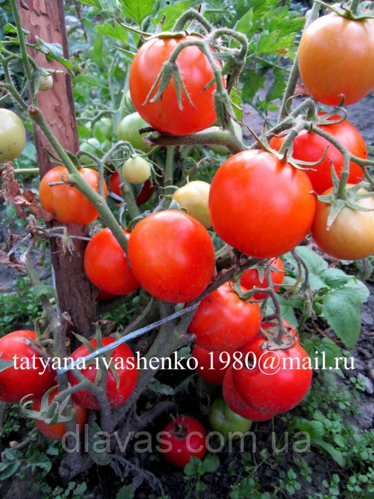 "ТОМАТ ""УЛЬТРАРАННИЙ-УЛЬТРАСКОРОСПЕЛЫЙ"" (10 семян)"