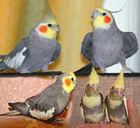 Корелла Нимфа попугай яркого цвета