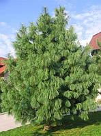 Саженцы сосны Гималайская (Pinus wallichiana)