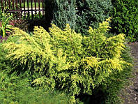 Можжевельник китайский Kuriwao Gold до 25 см