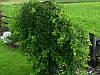 Карагана древовидная Pendula, фото 2
