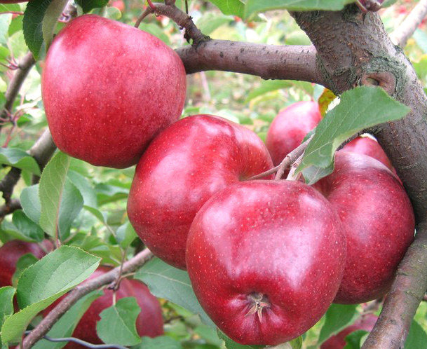 Саженцы яблони сорт Камео