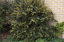 Барбарис Юліана 3 річний, Барбарис Юлиана, Berberis Julianae, фото 2