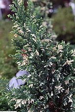 Кипарисовик Лавсона Ellwood's White 3 річний, Кипарисовик Лавсона Елвуд Вайт, Chamaecyparis lawsoniana Ellwood, фото 2
