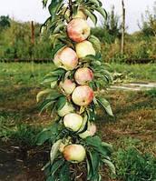 Яблоня колоновидная сорт Дюймовочка