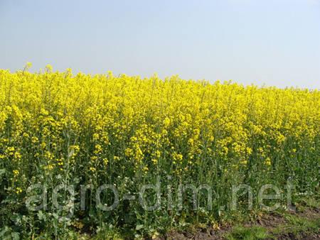 Семена рапса гибрид Тахов - глифосат
