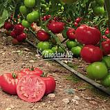 Семена томата Чимган F1, 250 семян, фото 3