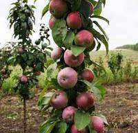 Яблоня колоновидная сорт Таскан