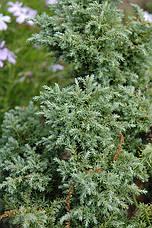 Кипарисовик горіхоплідний Squarrosa 3 річний, Кипарисовик горохоплодный Сквароза, Chamaecyparis Squarrosa, фото 3