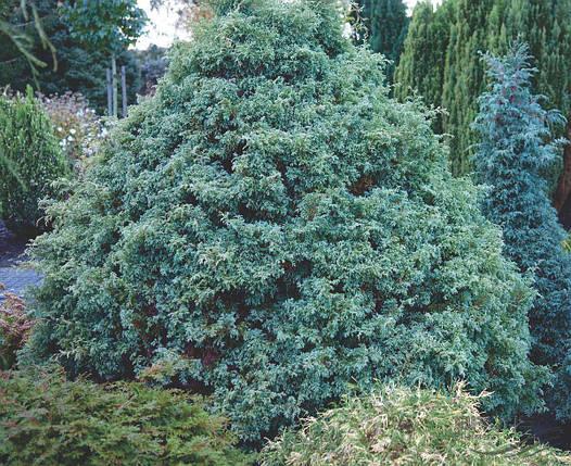 Кипарисовик горіхоплідний Squarrosa 3 річний, Кипарисовик горохоплодный Сквароза, Chamaecyparis Squarrosa, фото 2