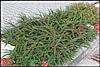 Кизильник Даммера 2 річний, Кизильник Даммера, Cotoneaster dammeri, фото 2