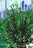 Бересклет японський Grandifolius 3 річний, Бересклет японский Грандифолиус , Euonymus japonicus Grandifolius, фото 2