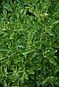 Бересклет японський Grandifolius 3 річний, Бересклет японский Грандифолиус , Euonymus japonicus Grandifolius, фото 3